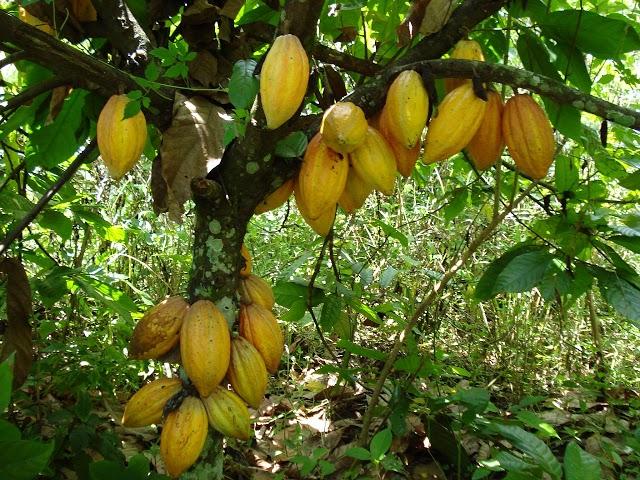 Dojryewajace kakaowce