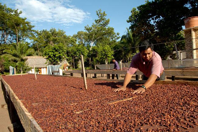 susyenie kakaowca