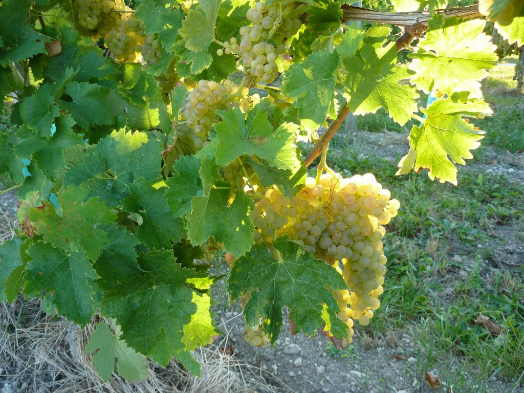 vignobles-vineyards-22-september-2014
