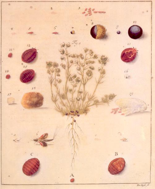 Porphyrophora polonica - karmin